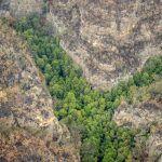 El milagro de los árboles jurásicos casi extintos en los incendios de Australia